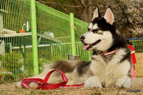 4910281478 587bd5ae14 Siberian Husky Puppy