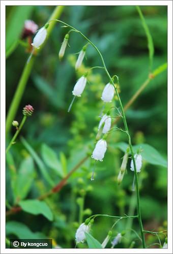 88.桔梗科沙参属紫沙参