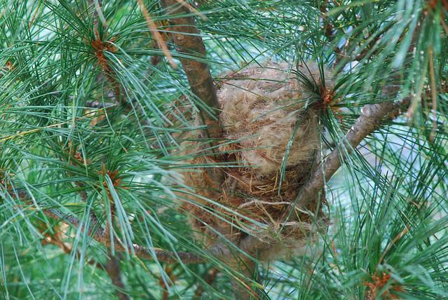 american goldfinch nest - photo #19