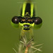 Face to face with Mr lime green dark brown Damselfly