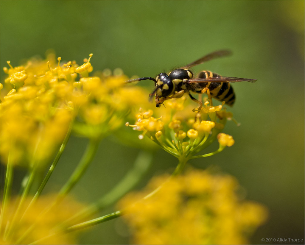 yellow-jacket wasp on yellow