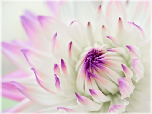 dahlia white yellow flora purple flowershow petaledge awesomeblossoms bestcapturesaoi