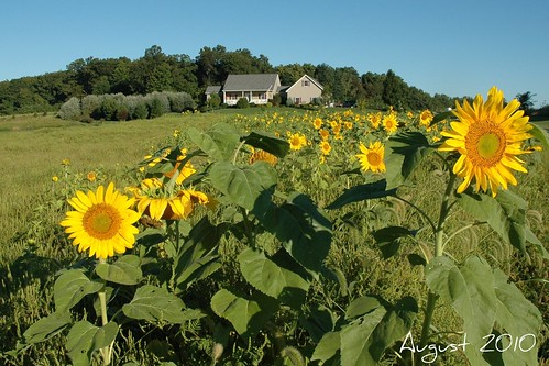 house sunflowers sunflower houseoutside