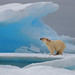 Polar Bear just outside of Resolute Bay, Nunavut.