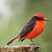 Vermillion Flycatcher (Pyrocephalus rubinus) by Paul Floyd Wildlife Photography
