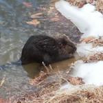 SK - Gap Run Beaver
