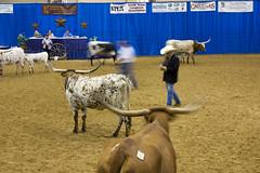 rodeo(0.0), herding(0.0), cattle(0.0), cattle-like mammal(1.0), bull(1.0), mammal(1.0), traditional sport(1.0),