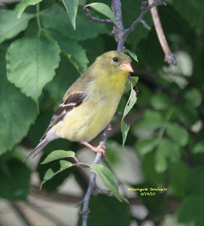 Female Yellow American Goldfinch by George W. Bowles Sr