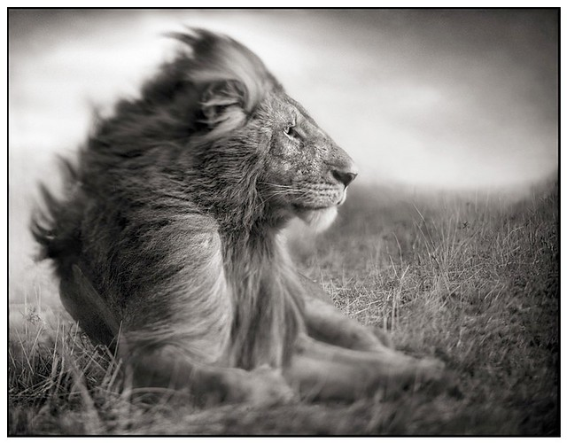 Lion Before Storm II, by Nick Brandt