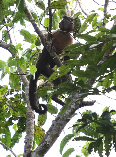 Cappucino monkey