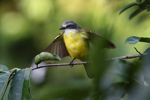 Flycatcher, Corcovado National Park