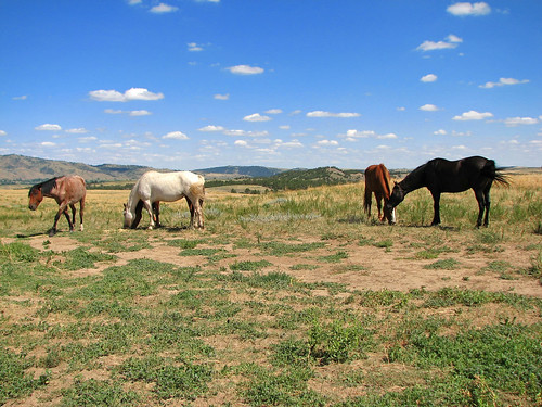 wild sky horses horse usa west southdakota blackhills america south united unitedstatesofamerica western mustang dakota sanctuary wildhorses mustangs
