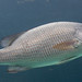 Grey Snapper - Photo (c) Brian Gratwicke, some rights reserved (CC BY)