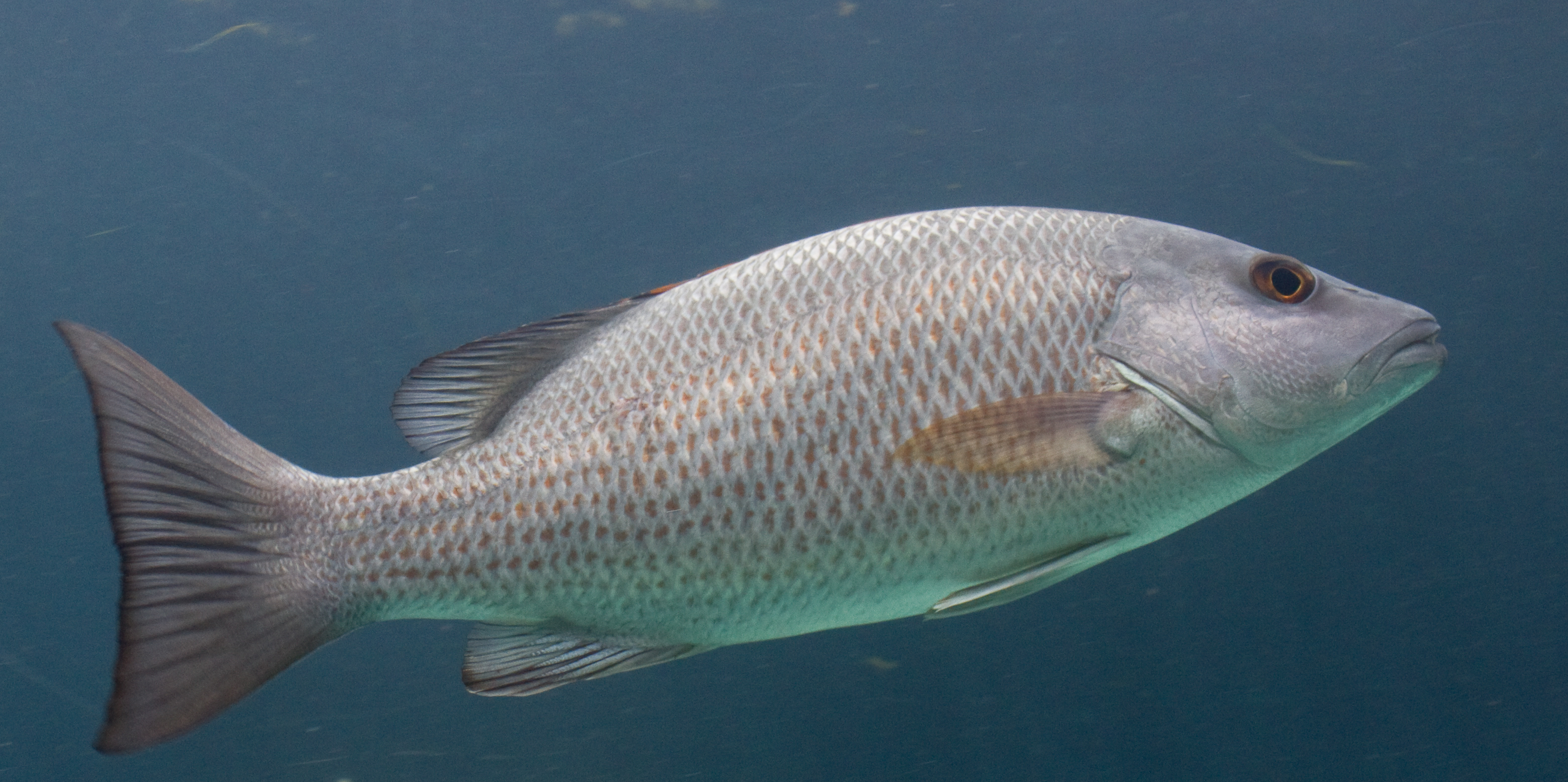 gray snapper aka grey snapper