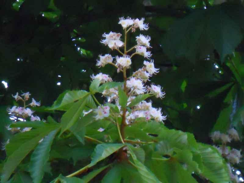 Aesculus hippocastanum flor 4