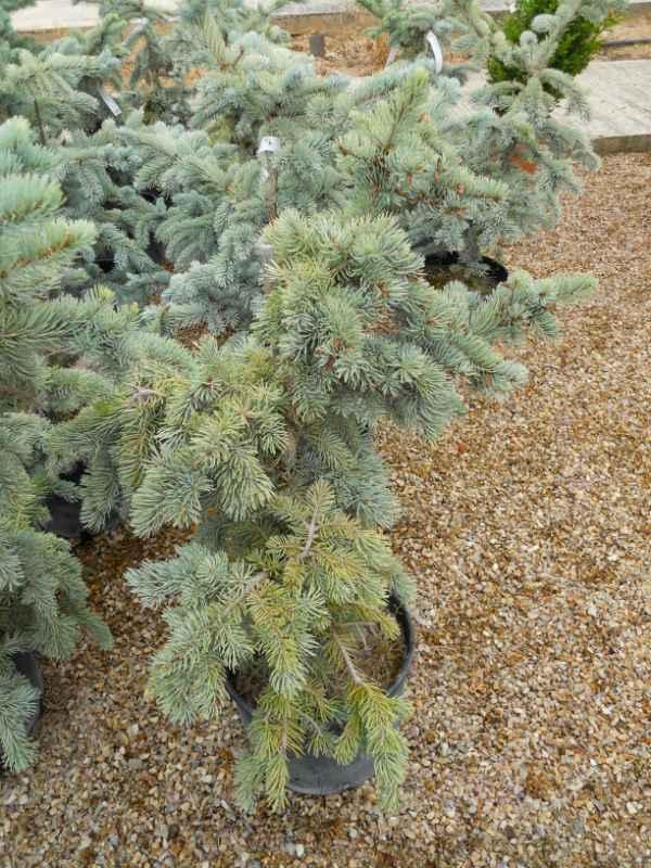 Picea pungens 'Koster' v 3