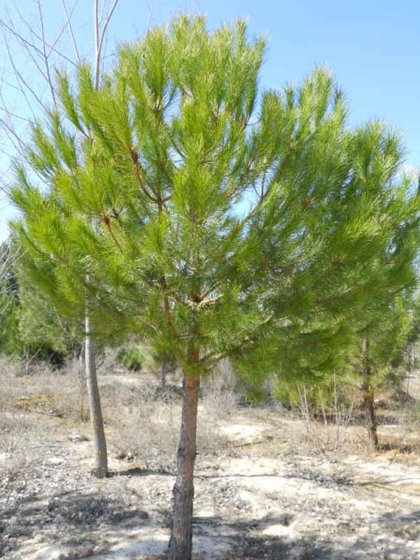Pinus pinea v 3