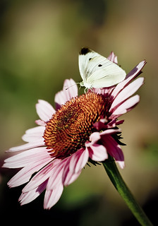 Cabbage Butterfly on Coneflower