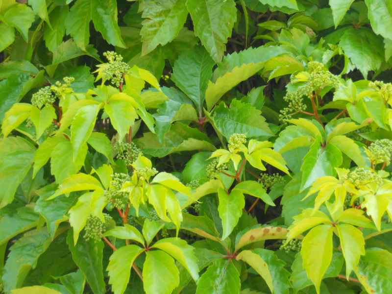 Parthenocissus quinquefolia hojas 4