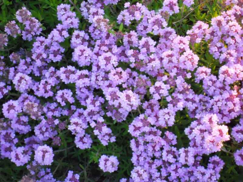 Thymus praecox flor 2