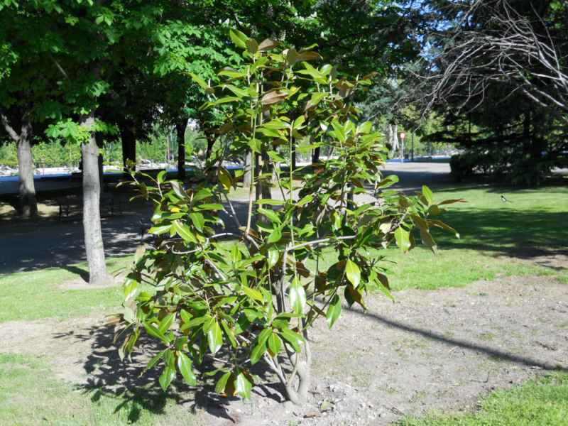 Magnolia spp. 5