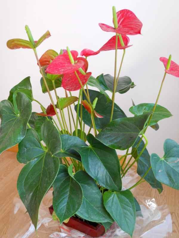 Anthurium andraeanum v 3