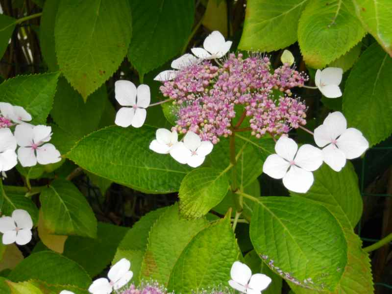 Hydrangea aspera 'Macrophylla' 3