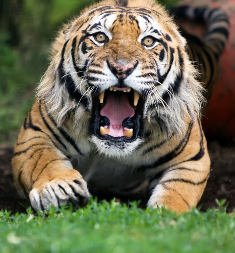 Terrific Pictures of Roaring Tigers - photo#10