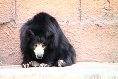 animal, american black bear, zoo, mammal, fauna, sloth bear, bear,