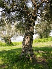 Ancient Olive Tree, Appolonia, Albania