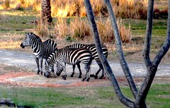 recreation(0.0), outdoor recreation(0.0), animal(1.0), zebra(1.0), mammal(1.0), fauna(1.0), savanna(1.0), safari(1.0), wildlife(1.0),