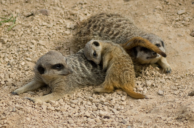 Meerkats (Suricata Suricatta), London Zoo