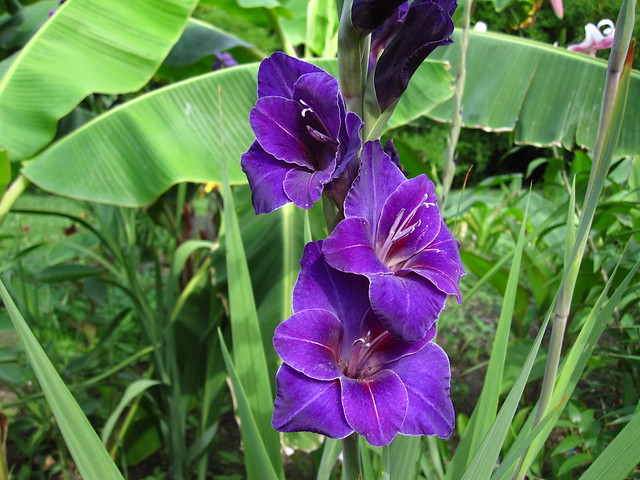 Gladiolus 'Violetta' blooms in the Monocot Border. Photo by Rebecca Bullene.