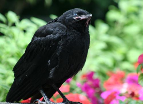 Juvenile Crow 3