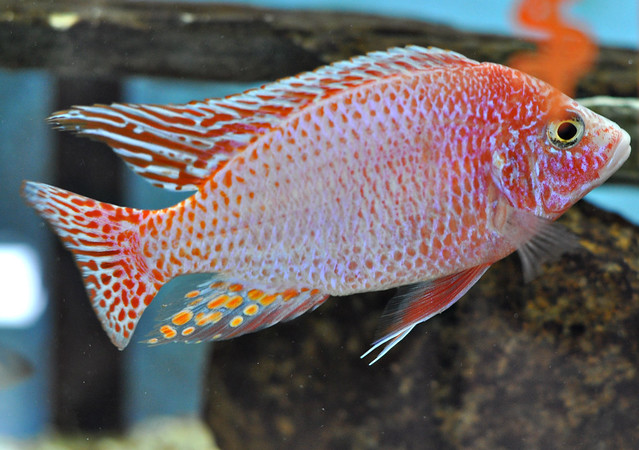 Strawberry Peacock Cichlid | Flickr - Photo Sharing!