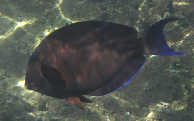 Header of Acanthurus nigroris