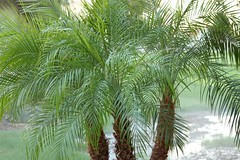 date palm(0.0), borassus flabellifer(0.0), saw palmetto(0.0), arecales(1.0), branch(1.0), tree(1.0), plant(1.0), elaeis(1.0),