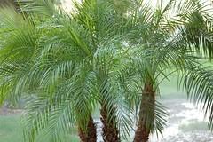 arecales, branch, tree, plant, elaeis,