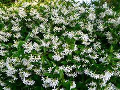 shrub, flower, subshrub, herb, wildflower,