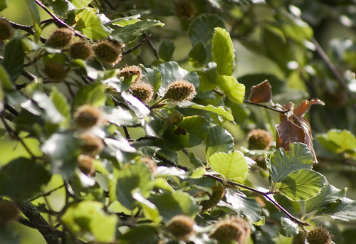 Lake Wood, Uckfield - Beech Nuts