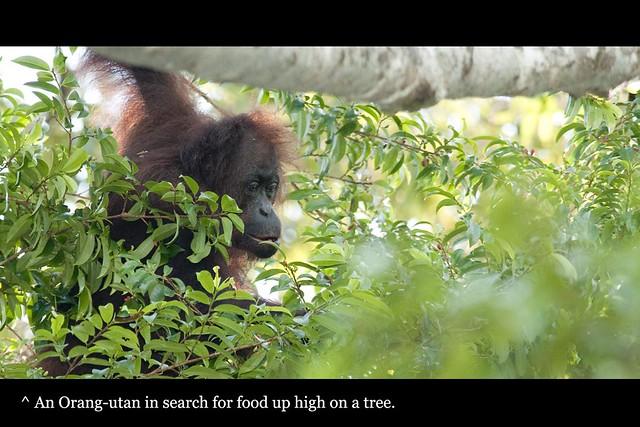 71_orangutan