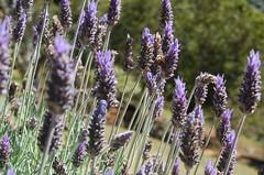 hyssopus(0.0), grass(0.0), lavandula dentata(1.0), flower(1.0), english lavender(1.0), plant(1.0), lavandula stoechas(1.0), lavender(1.0), lavender(1.0), herb(1.0), wildflower(1.0), flora(1.0),