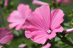geranium cinereum(0.0), garden cosmos(0.0), malva(0.0), pink evening primrose(0.0), annual plant(1.0), flower(1.0), pinkladies(1.0), plant(1.0), macro photography(1.0), flora(1.0), pink(1.0), petal(1.0),