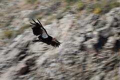 animal, bird of prey, wing, vulture, fauna, bird, condor, wildlife,