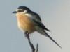 Masked Shrike, Akseki (Turkey), 22-May-10 by Dave Appleton