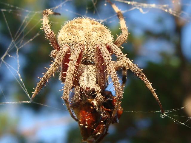 Pine Tree Spider Flickr Photo Sharing