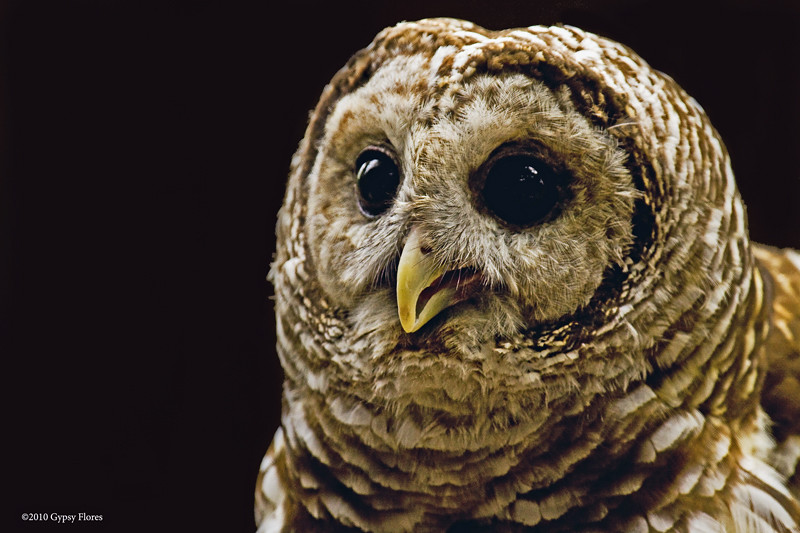 Barred Owl Portrait # 2