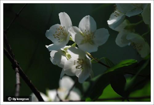 10.虎耳草科山梅花属太平花