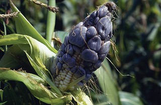 Common smut on maize