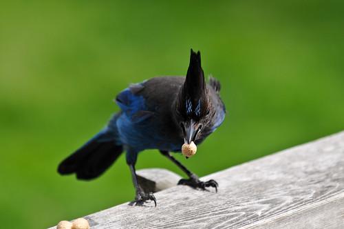 blue green bird fluffy crest peanut bluebird 2010 stellarjay stellersjay stinkeye cyanocittastelleri cordan characrestada geaidesteller flickrgolfclub nikond300 nikkor70200mmf28d brightblueandblack dmyers